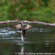 Osprey with-fish 2