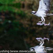 Osprey with fish - reflection