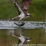 Osprey with fish reflection1