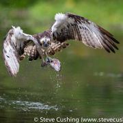 Osprey with trout 1