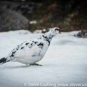 Ptarmigan in Cairngorms-24