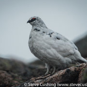 Ptarmigan in Cairngorms-40