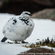 Ptarmigan in Cairngorms-7