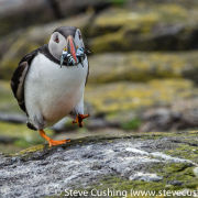 Puffin walking with sandeels