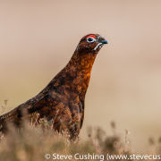 Red Grouse 1