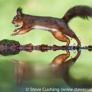 Red Squirrel Running with Nut