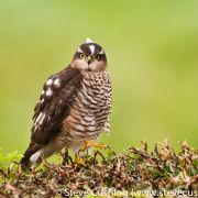 Sparrowhawk on Hedge 1