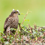Sparrowhawk on Hedge 2