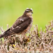 Sparrowhawk on Hedge 3