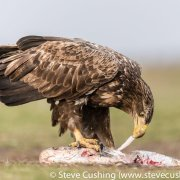 White-Tailed Eagle Eating Carrion-24