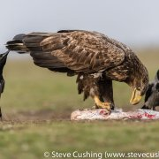 White-Tailed Eagle Eating Carrion-28