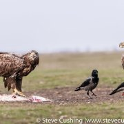 White-Tailed Eagle Eating Carrion-3