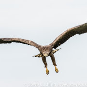 White-Tailed Eagle Flying-21