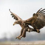 White-Tailed Eagle Flying-9