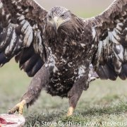 White-Tailed Eagle with Spread Wings-14