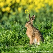 European Hare eating