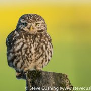 Little Owl 4