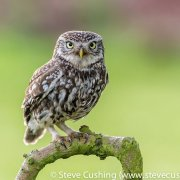 Little Owl 9
