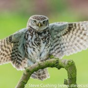 Little Owl landing on perch