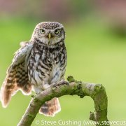 Little Owl 12