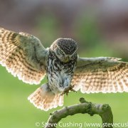 Little Owl Landing on Perch 2