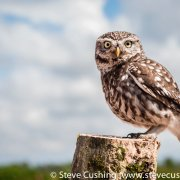 Little Owl 13