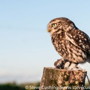 Little Owl with mouse 2
