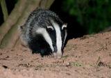 badger cib