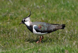 lapwing or pewit