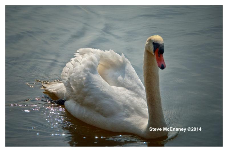 Elegant Swan