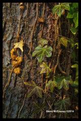Climbing Ivy 01