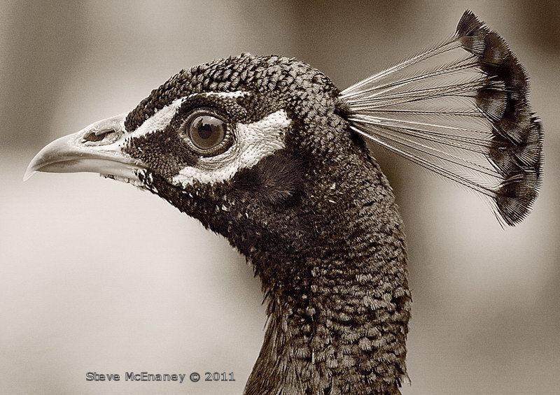 Peacock - head detail