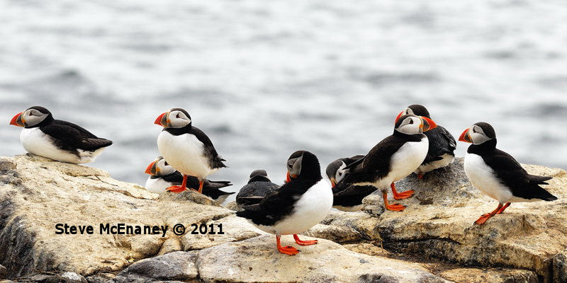Puffins - group