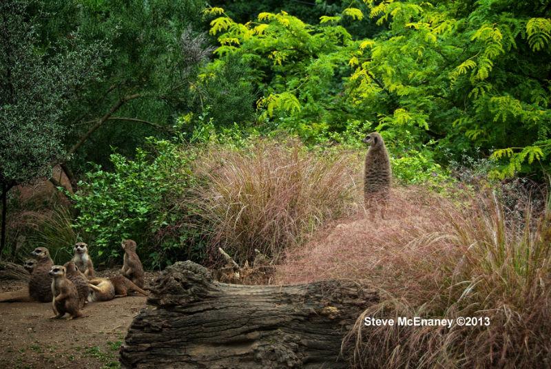 Edinburgh_Zoo_Meerkats_01