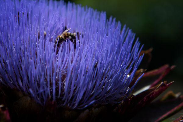 Honey Bees on Globe Artichoke_02
