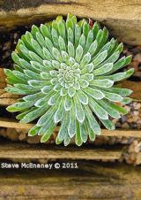 Alpine Succulent #2