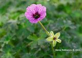 Purple Alpine #1