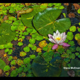 Water_Lily_01