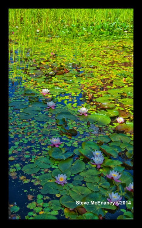 Water_Lily_03