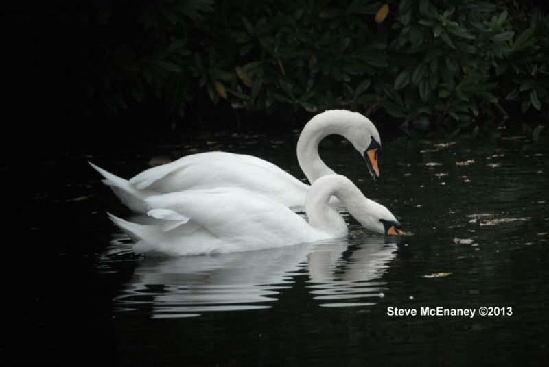 Mute_Swans_#01