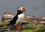 Atlantic Puffin with full beak