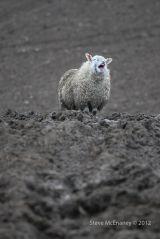The Laughing Ewe