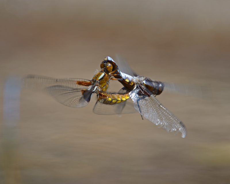 Broad-bodied Chaser, mating