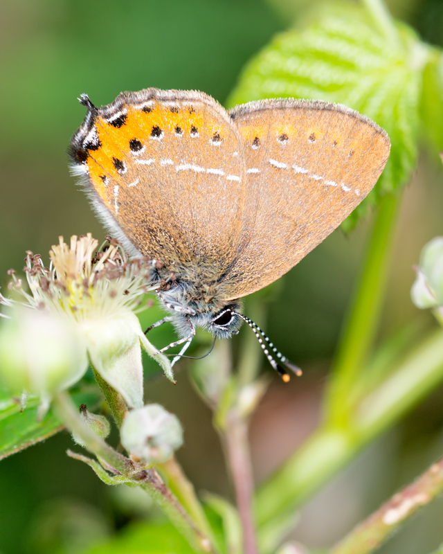 Black-letter Hairstreak