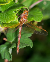 Brown Hawker male