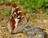 Purple Emperor, underwing