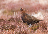 Red Grouse - Male