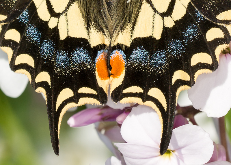 The tail of a Swallowtail