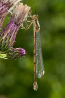 Willow Emerald Damselfly on thistle