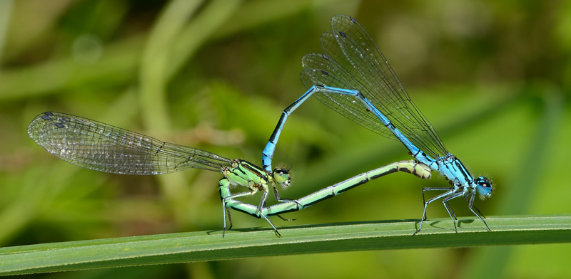Coupled Azure Damselfly